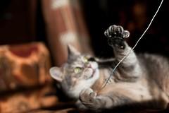 (lisrezoly) Tags:  cat graycat mustache catmoments