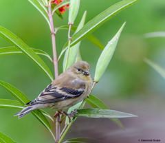 American Goldfinch (Summerside90) Tags: birds birdwatcher americangoldfinch september fall autumn backyard garden nature wildlife ontario canada