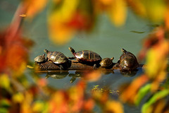 Sun Worship by Paul Farley (AccessDNR) Tags: 2016 photocontest fall autumn wildlife fortmeade turtles basking log foliage