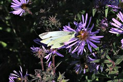 Small White Cabbage Butterfly Feasting On Wild Aster 002 - Pieris Rapae (Chrisser) Tags: insects insect butterflies butterfly smallwhitecabbagebutterfly pierisrapae nature ontario canada canoneosrebelt1i canonefs60mmf28macrousmprimelens pieridae lens00025 digital