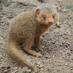 Mini Mongoose (Penny Hyde) Tags: babyanimal mongoose sandiegozoo