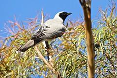 Black Faced Cuckoo Shrike (Rodger1943) Tags: australianbirds blackfacedcuckooshrike fz1000
