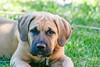 Charlie Brown (c.macp) Tags: dog englishmastiff mastiff cute puppy