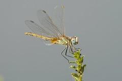 Landing (jrosvic) Tags: dragonfly liblula odonata odonato freehand entomology entomologia nikon300mmf4 nikond2xs anisoptera macro sympetrumfonscolombii kenkopro300x14