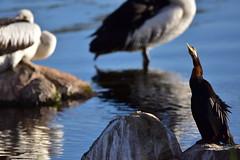 Darter at the front (Luke6876) Tags: australasiandarter australianpelican darter pelican bird animal wildlife australianwildlife