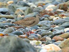 Hudsonian Whimbrel Numenius phaeopus hudsonicus (Mark Ferris wildlife Photography) Tags: shinglebeach coast cornwall perranuthnoe shorebird wader
