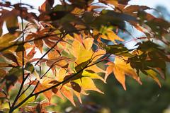 Autumn Colours (yattondave) Tags: autumncolours fall trees leaves westonbirt arboretum