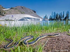 Chilling (David A Jahn) Tags: mountain gartersnake thamnophis elegans snake sierra nevada mountains lake snow basking bask chilling western terrestrial