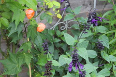 Bruni's beautiful garden Oct 16 2 (Anne Gilmour) Tags: walkers