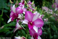 DSC_0022 (Fabio Brenna) Tags: flower flowers fiori fleurs flores colors orchid orchidea orchidee orchids orqudeas orchides