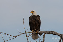 A bald eagle keeps watch