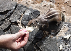 Finger buffet lunch (Jo Evans1 - Off and on for a while) Tags: animals bread fun lunch shots eating chipmunk fuenteventura