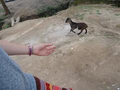 (hanna.ghana2014) Tags: students zoe village goat ghana sit okaikrom
