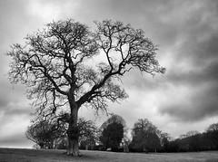 Storm Rising (peterphotographic) Tags: uk england blackandwhite bw tree monochrome britain nt plymouth olympus devon nik nationaltrust westcountry saltramhouse microfourthirds silverefexpro2 olympusepl5 epl5 pc230874sefexedwm ©peterhall