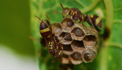 Natural Hexagons (Sooraj Shajahan) Tags: macro building green up work team close natural bees bee honey hexagon hive