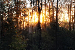 Sunrise in my forest (Gordana AM) Tags: from above morning trees sun mist canada tree up lines yellow horizontal fog vancouver contrast forest sunrise dark photography dawn golden early photo woods energy wake photographer bc bright britishcolumbia rise deciduous drama seen portcoquitlam gordana lowermainland lepiafgeo wwwgordanaphotocom gordanamladenovic