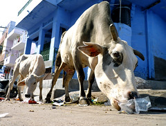 Jodhpur - the Blue City: cows (s.e.a.n.i.o) Tags: street city blue india trash cow alley paint cows eating indigo alleyway rubbish rajasthan jodhpur seanio