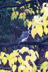 Hawk (Shingan Photography) Tags: bird birds aves
