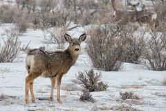 Gently Falling (dbushue) Tags: winter snow nikon montana wildlife january basin deer trail valley yellowstonenationalpark muledeer ynp 2014 offthebeatenpath specanimal oldyellowstonetrail dailynaturetnc14 photoofthedaynwf14 dailynaturetnc15 photoofthedaynwf15