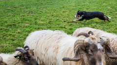 Tara (Bas Bloemsaat) Tags: dog collie sheep sheepdog border bordercollie herding schapendrijven
