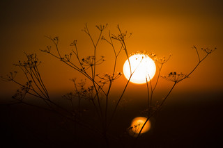 Umbellifer Skeletons, Sunset and Reflection