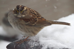 White-throated sparrow with snowflakes on its brow (Scott Alan McClurg) Tags: life winter red wild snow cold bird nature song wildlife neighborhood deck sparrow perch suburbs snowing songbird naturephotography perching whitebreasted whitebreastedsparrow