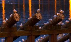 Rackov na kldch (Honzinus) Tags: seagulls river czech prague praha cz vltava seagul noc racek eka non rackov kldy
