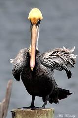 Common Brown Pelican (Hal Kennedy) Tags: pelican brownpelican verobeachfl