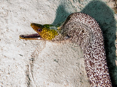 Moray eel (arts-loi) Tags: dahab redsea egypt scubadiving underwaterphotography undulatedmoray southsinai dahabcanyon