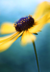 Soothing Timbre (j man.) Tags: life lighting blue light flower color texture nature floral beautiful yellow vertical composition petals cool focus dof blossom pov background details dream clarity blurred depthoffield pointofview gradient dreamy tones hue blackeyedsusan jman photograpy macrophotography flickrbronzetrophygroup soothingtimbre