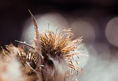 Wild Hair Day (Karen McQuilkin) Tags: macro creek hike wildhairday winterthistle karenmcquilkinnature