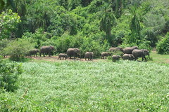 Elephant Herd Uganda QENP