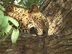 Leopard's Face Yala Sri Lanka