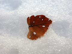 (H-Vollmilch) Tags: winter macro nature canon leaf end s110