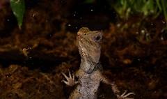 Chameleon Forest Dragon (Gonocephalus chamaeleontinus) _DSC0191 (ikerekes81) Tags: zoo washingtondc dc dragon reptile nationalzoo dczoo smithsoniannationalzoologicalpark washingtondczoo gonocephaluschamaeleontinus chameleonforestdragon