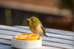 2015 Japanese White-eye #3 (Yorkey&Rin) Tags: bird japan garden olympus february kanagawa japanesewhiteeye  rin kawasaki earlyspring 2015 em5  olympusm75300mmf4867ii pc234524