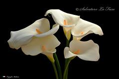 I COLORI DELLA NATURA. (Salvatore Lo Faro) Tags: verde nature nikon calla natura giallo fiore bianco bellezza