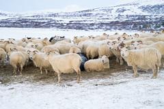 DSC01460 (ekremenak) Tags: photo iceland sheep 1502 150212