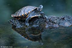 Tartaruga d'acqua _002 (Rolando CRINITI) Tags: natura arenzano tartarugadacqua