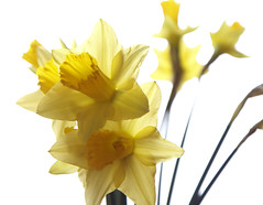Daffodil (Boganeer) Tags: flowers flower yellow canon daffodil highkey bouquet daffodils narcissus canont3i