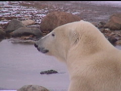 Polar Bear Churchill 10