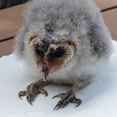 Baby Barn Owl (annkelliott) Tags: baby canada bird birds young exhibit alberta owl ornithology avian barnowl birdofprey incaptivity bowvalleyprovincialpark 45daysold allrightsreserved wofcalgary fromcoaldalebirdsofpreycentre anneelliott2014 notnativetoalberta