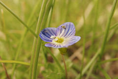 Viola nel Verde - Atri(TE) (pierowx) Tags: flowers flower macro verde green nature grass natura olympus erba fiori fiore viola fiorellino fiorellini xz xz2 xzseries
