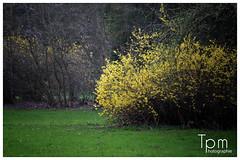 forsythie busch (t1p2m3) Tags: flower fleur yellow jaune gelb blume busch forsythie