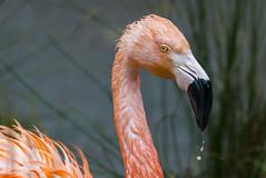 Flamingo (kathleen_kitto) Tags: seattle bird washington flamingo