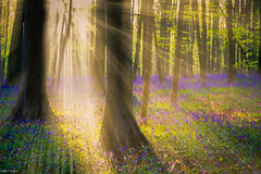 Golden hour & the blue forest (Nedko Nedkov) Tags: blue brussels flower nature forest landscape europe purple belgium april bluebell hallerbos sring 2016