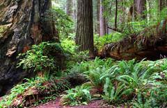 Redwood National Park, California, USA (klauslang99) Tags: klauslang nature naturalworld northamerican redwppd national park usa california forest trees ferns woods