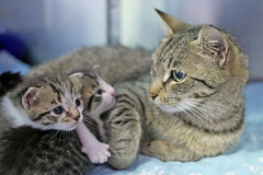 Mama & Babies_06 (AbbyB.) Tags: mtpleasantanimalshelter easthanovernj newjersey shelter pet rescue adopt petphotography shelterpet cat kitten momandkittens babies kitty
