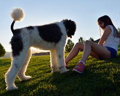 Fluffball (JasonCameron) Tags: dog poodle fluffy sunset light play fun cute pet grass green summer time