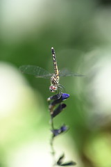 Dragonfly_0431 (Porch Dog) Tags: 2016 garywhittington kentucky nikond750 fx nikon105mm macro backyard home dragonfly bug critter